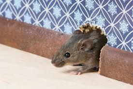 Rumah Anda Terdapat Tikus Berikut Cara Mengusirnya