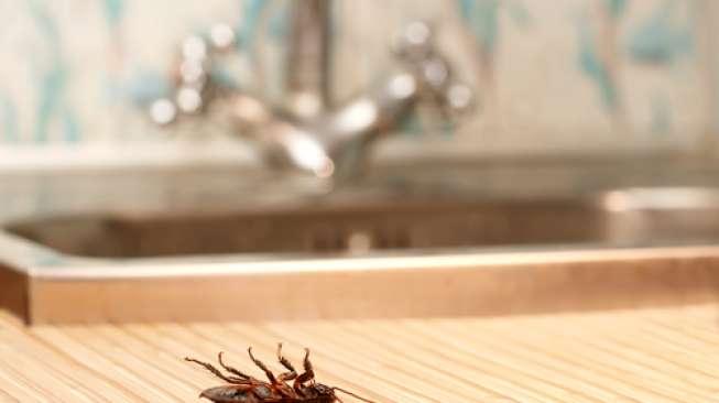 Cara Mudah Membasmi Kecoa dari Dapur