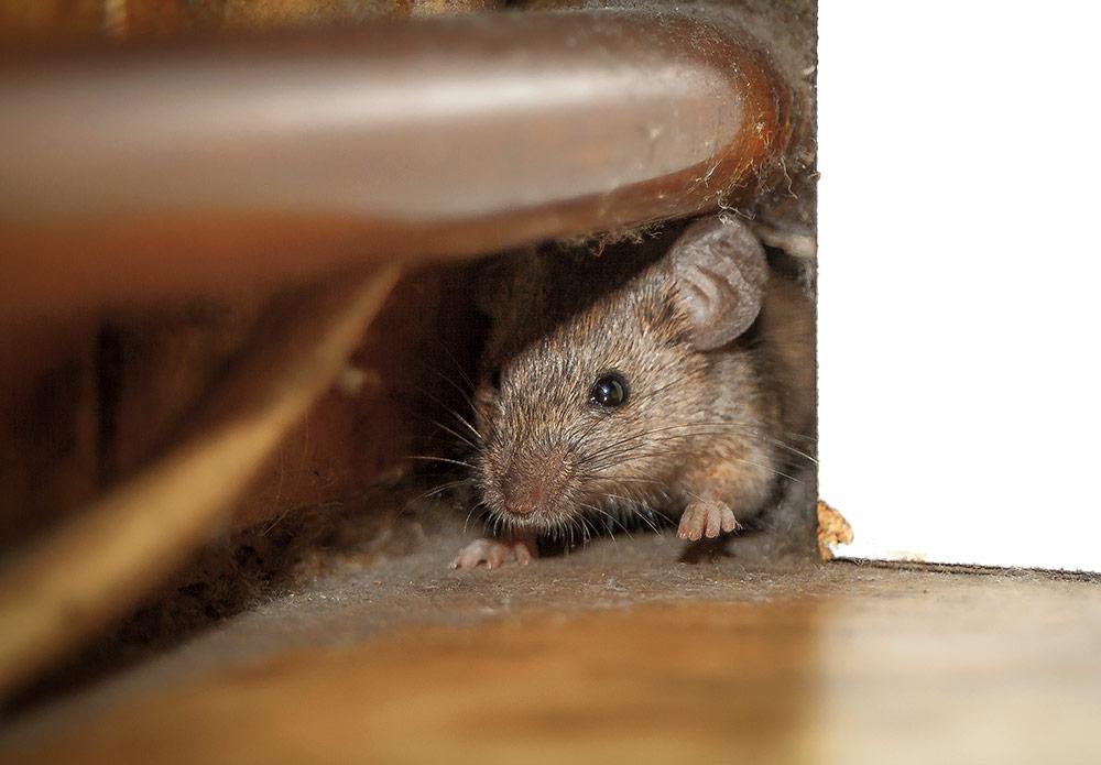 Usir Tikus di Dapur dengan Cara Ini!